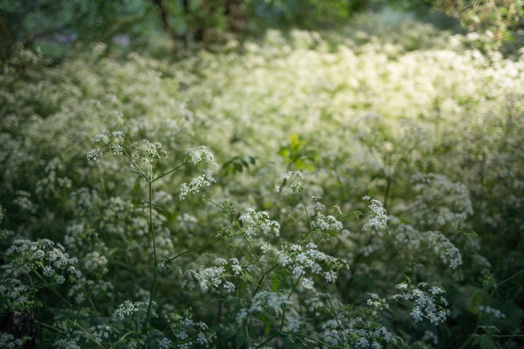 Canon 35mm f/2.0 IS - Strobist cow parsley